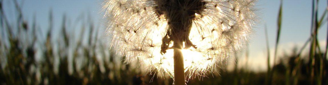 sunburst-dandelion-1393738-1920x1440